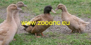 photo Swedish Yellow Duck