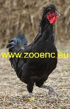 photo Kosovo Long Crowing Rooster, rooster