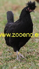 photo Kosovo Long Crowing Rooster, hen