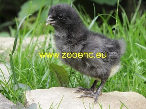 photo Kosovo Long Crowing Rooster, chicken