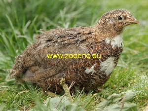 photo Japanese Quail (egg type)