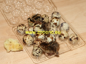 photo Japanese Quail (egg type), chicken