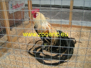 Onagadori, rooster