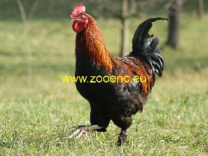 photo Poule de Marans, coq