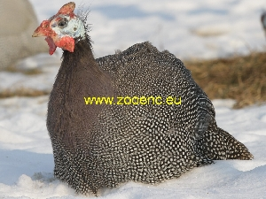 photo Domesticated Guinea Fowl, female