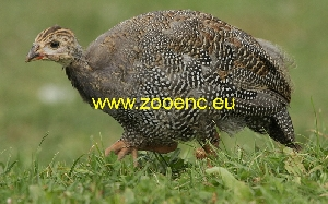 photo Domesticated Guinea Fowl, chicken