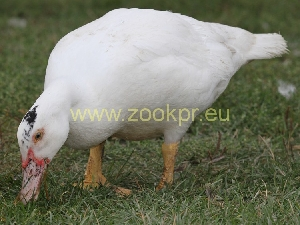 photo Muscovy Duck White, drake
