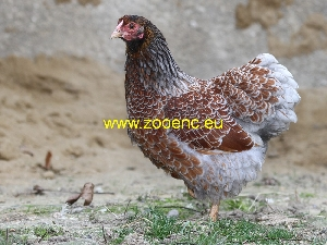снимка Кокошка виандот, кокошка