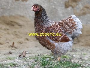slika Vijandot kokoš, kokoška