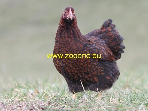 fotografie Găina Wyandotte, găină