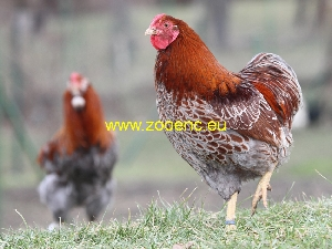 photo Wyandotte, coq
